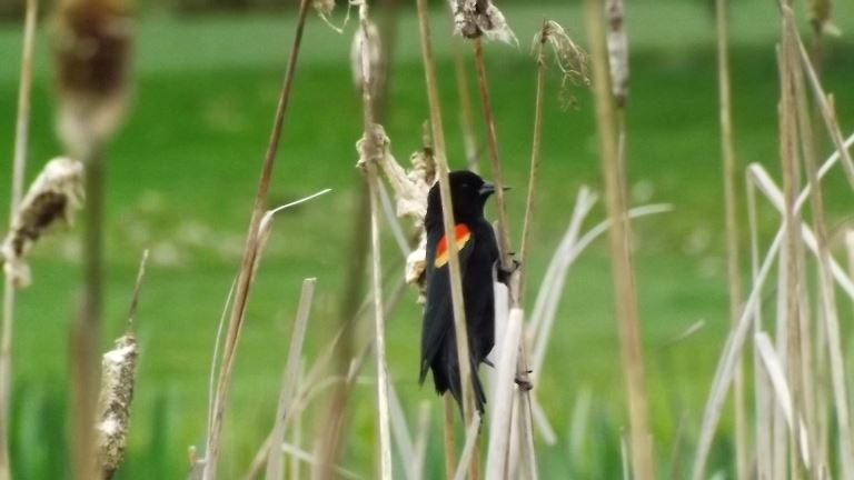 Black Bird clinging to reed at Ballinger Park